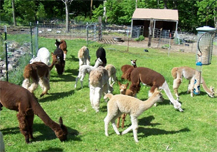 Popple Camp Alpaca Farm